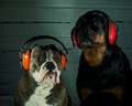 Give the dogs a good new year s eve bulldog and rottweiler with protection for ears in anticipation of Stock Photos