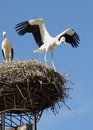 Give flying a try two young storks in their nest one of them opening its wings as if trying to fly the nest is on top of chimney Royalty Free Stock Photo