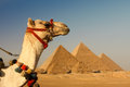 Giza pyramids camel passing in egypt Stock Images