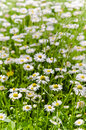 Glade beautiful little daisy close up Stock Photography