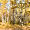 Glade in birch forest in autumn Royalty Free Stock Photo
