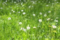 Glade with dandelions Stock Photography