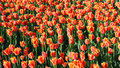 Glade of red and pink tulips Royalty Free Stock Photo