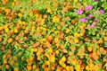 Glade with a scattering of bright orange flowers Stock Photo