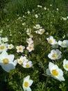 Glade of white tender flowers