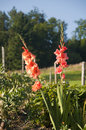 Gladioli growing garden switzerland Stock Images