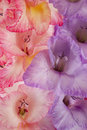 Gladiolus Royalty Free Stock Photography