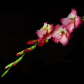Gladiolus on a black background Royalty Free Stock Photo