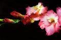 Gladiolus on a black background Royalty Free Stock Photo
