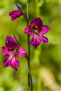 Gladiolus flower of wild from a park in jijel algeria Stock Photos