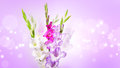 Gladiolus flowers Stock Photo