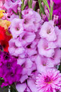 Gladiolus flowers in full bloom Royalty Free Stock Photography