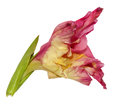Gladiolus fresh delicate pink flower Royalty Free Stock Photo