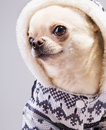 Glamour chihuahua dog in hood Stock Photos