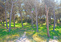 Glare in the pinewood platamona shore with a sun sardinia Stock Image