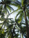 Glare among the trees sun penetrates through coconut tree leaves Stock Photos