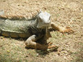 A Glaring Common Iguana on Aruba`s Wild Side Royalty Free Stock Photo