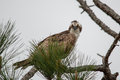 Glaring osprey perched in a pine tree Royalty Free Stock Photos