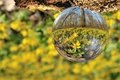 Glass ball and yellow aconites Royalty Free Stock Images