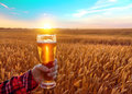 Glass of cold beer at sunset on the background of wheat field and blue sky. Summer landscape. Fresh brewed ale. Royalty Free Stock Photo