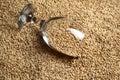 Glass of malt beer full barley lying on grains Royalty Free Stock Images