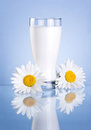 Glass of milk and two chamomile flowers on blue Royalty Free Stock Image