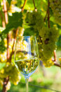 Glass of wine in the vineyard with winemaker autumn ripe grapes Royalty Free Stock Photos