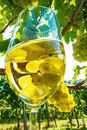 Glass of wine in the vineyard with winemaker autumn ripe grapes Stock Image