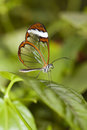 The Glass Wing Butterfly Stock Photography