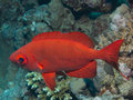 Glasseye priacanthidae bigeye fish red sea underwa with big eyes Stock Photography