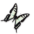 Glassy bluebottle butterfly beautiful black and white graphium cloanthus isolated on white background Royalty Free Stock Images