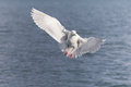 Glaucous gull in homer alaska adult white winged Stock Photos