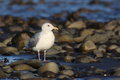 Glaucous-winged Gull Stock Photography