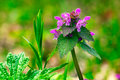 Glechoma hederacea or creeping charlie or catsfoot wild flower plant macro shot Stock Image