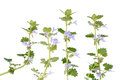 Glechoma hederacea ground ivy is an aromatic perennial evergreen creeper of the mint family lamiaceae it is commonly known as gill Stock Photos