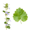 Glechoma hederacea ground ivy is an aromatic perennial evergreen creeper of the mint family lamiaceae it is commonly known as gill Royalty Free Stock Photo