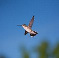 Glide path hummingbird that seems to be gliding on the air Stock Photos