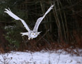 Gliding snowy owl a bubo scandiacus over a field with trees in the background Royalty Free Stock Photography