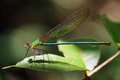 The Glistening Demoiselle Royalty Free Stock Photo