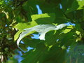 Glistening leaf flowing in the glowing wind Royalty Free Stock Photo