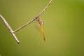 Global Skimmer perching on tree (Pantala flavescens) Royalty Free Stock Photo