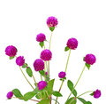 Globe amaranth beauty flower in white background. Royalty Free Stock Photo