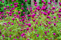 Globe amaranth flower Stock Images