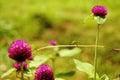 Globe amaranth purple beautiful background blur nature. Royalty Free Stock Photo