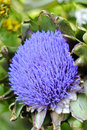 Globe artichoke (Cynara cardunculus) blooming Stock Photos