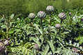 Globe artichoke florets in a vegetable garden Royalty Free Stock Photo