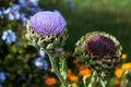 Globe Artichoke Flower (Cynara...