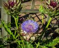 Globe artichoke head bud Fresh homegrown green vegetable growing in summer kitchen garden
