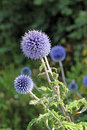 Globe thistle or echinops plant Royalty Free Stock Photo