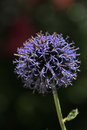 Globe thistle spikey blue ball flower head from a echinops bannaticus blue Royalty Free Stock Image